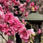 桜と桃の花